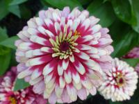 Zinnia elegans   'Swizzle Cherry and Ivory'  Youth-and-age flowers