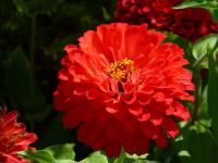 Zinnia elegans   'Coral Giant'  Youth-and-age flowers