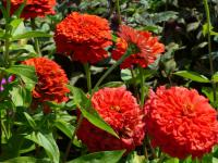 Zinnia elegans  'Coral Giant'  Youth-and-age plant