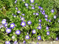 Convolvulus tricolor   dwarf morning glory plant