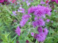 Ageratum houstonianum   'Red Sea'  Flossflower flowers