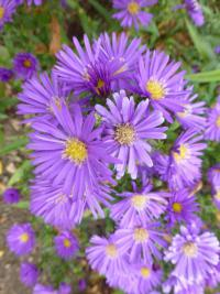 Aster dumosus 'Samoa'  Rice Button Aster plant