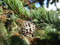 Pinus aristata   Rocky Mountains Bristlecone Pine seeds