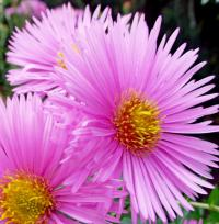 Symphyotrichum novae-angliae   'Rudelsburg'  New England Aster flowers