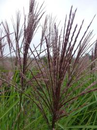Miscanthus sinensis  'Roter Pfeil'  Chinese Silver Grass flowers
