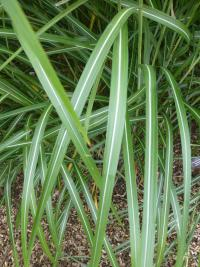 Miscanthus sinensis   'Red Tango'  Chinese Silver Grass leaves