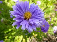 Symphyotrichum novi-belgii     'Royal Blue'  Confused Michaelmas-daisy flowers