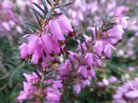 Erica carnea     'Pirbright Rose'  Winter Heath flowers