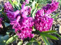 Hyacinthus orientalis   'Woodstock'  Common Hyacinth flowers