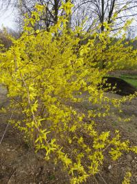 Forsythia suspensa  'Hewitts Gold' - Golden-bell