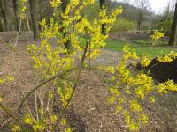 Forsythia x intermedia  'Vitellina' - Border Forsythia