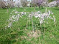 Prunus serrulata  'Snow Fountains' - Japanese Cherry