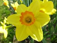 Narcissus   'Pinza'  Daffodil flowers