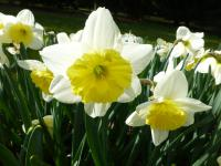 Narcissus   'Ice Folies'  Daffodil flowers