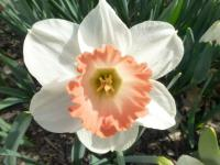Narcissus    'Pink Charm'  Daffodil flowers