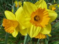 Narcissus   'Mary Bohannon'  Daffodil flowers