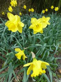 Narcissus  'Gigantic Star' - Daffodil