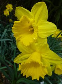 Narcissus   'Gigantic Star'  Daffodil flowers