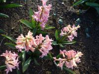 Hyacinthus orientalis 'Gipsy Queen'  Common Hyacinth plant