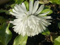 Bellis perennis    'Roggli White'  English Daisy flowers