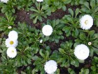 Bellis perennis  'Roggli White' - English Daisy