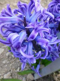 Hyacinthus orientalis       'Blue Jacket'  Common Hyacinth flowers