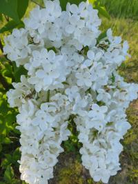 Syringa vulgaris   'Monument'  Common Lilac flowers