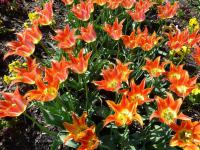 Tulipa  'Ballade Orange'  Tulip flowers