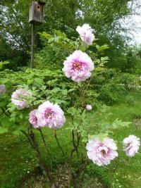 Paeonia suffruticosa 'Athlete'  Moutan Peony plant