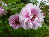 Paeonia suffruticosa    'Athlete'  Moutan Peony flowers