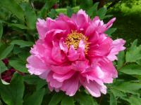 Paeonia suffruticosa    'Robert Fortune'  Moutan Peony flowers