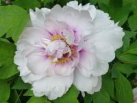 Paeonia suffruticosa  'Blanche de His'  Moutan Peony flowers