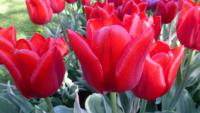 Tulipa  'Christmas Design'  Tulip flowers