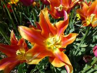 Tulipa   'Ballade Dream'  Tulip flowers