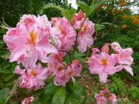 Rhododendron 'Raimunde'  Rhododendron plant