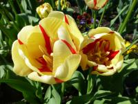 Tulipa  'World Expression'  Tulip plant