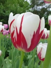 Tulipa    'World Expression'  Tulip flowers