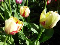Tulipa    'Burning Heart'  Tulip flowers