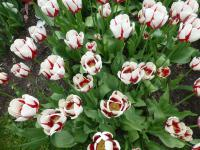 Tulipa 'Burning Heart'  Tulip plant