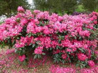 Rhododendron 'Berliner Liebe'  Rhododendron plant