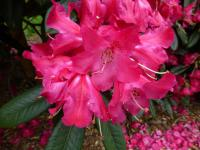 Rhododendron   'Berliner Liebe'  Rhododendron flowers