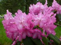 Rhododendron   'Prinses Marijke'  Rhododendron flowers