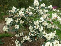 Rhododendron 'Loy'  Rhododendron plant