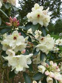 Rhododendron     'Loy'  Rhododendron flowers