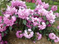 Rhododendron 'Walküre'  Rhododendron plant