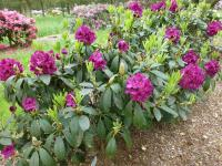 Rhododendron 'Olin O. Dobbs'  Rhododendron plant