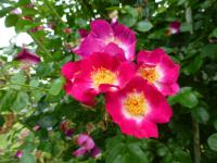 Rosa   'Bloomfield Courage'  Rose flowers