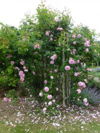 Rosa 'Constance Spry'  Rose plant