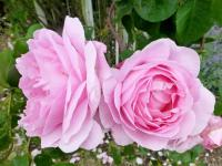 Rosa    'Constance Spry'  Rose flowers