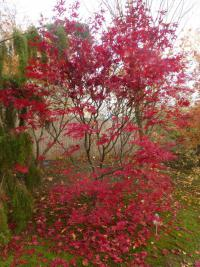 Acer palmatum  'Bloodgood' - Japanese maple